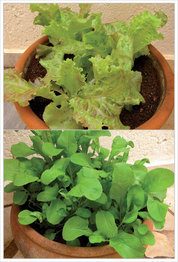 foto de mudas de alface roxa e rúcula plantadas em vasos