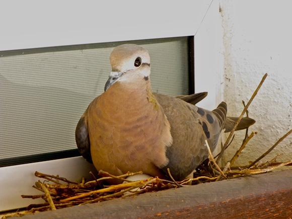foto de rolinha no ninho